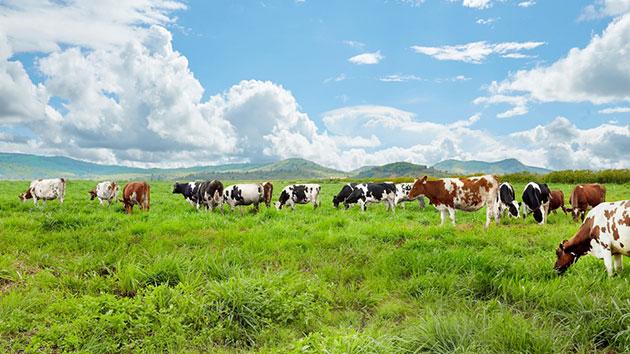 Đàn bò New Zealand